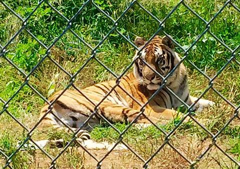 Tiger_Resque.jpg